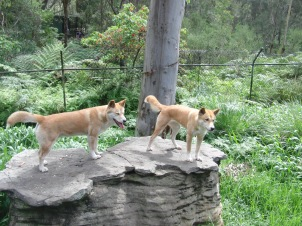 One of these dingoes grew up in a home. They thought it was a dog.